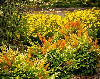 Gulf Stream Nandina 3 Gallon
