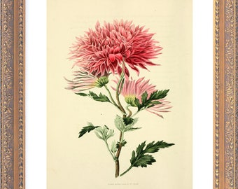 VICTORIAN Botanical Chrysanthemum - Giclee Reproduction Colour Print