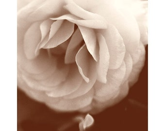 Sepia Flower Photography, White Ranunculus Art Print, Neutral Beige Brown Decor