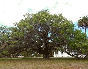 Live Oak at Plum Orchard