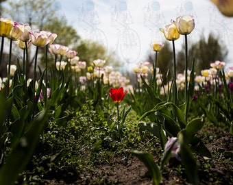 Small Red Tulip among White Tulips - Tulip Field Photography Print