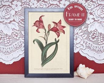 "Vintage illustration of Amaryllis - framed fine art print, flower art, home decor 8""x10"" ; 11""x14"", FREE SHIPPING - 98"