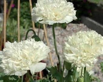 10 White Cloud Poppy Seeds-1141
