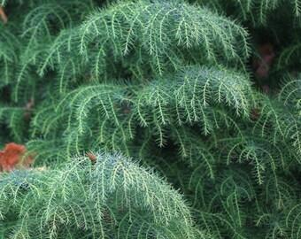200  Cryptomeria japonica Seeds, Japanese cedar  Seeds
