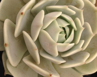 This listing is for two 4 inch succulents, You will receive two gorgeous Echeveria Lola's that are one of he most elegant of the echeveria's