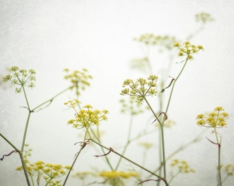 "Botanical Print - Wildflowers Print - Fennel Art Print - White Yellow Art - Nature Photography - Minimal Wall Art ""Yellow Blooms"""