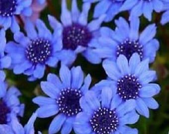 50+ Felicia Blues Blue Daisy / Annual Flower Seeds