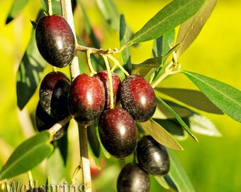Picual Olive Tree Live Plant food garden