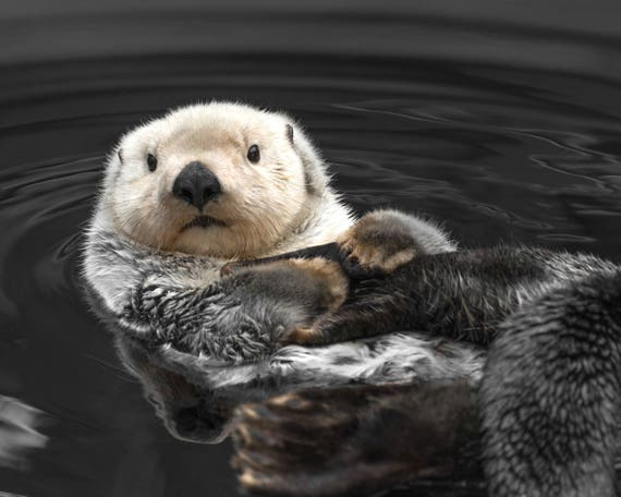 Fotografía Animal lindo nutria de mar imprimir imprimir