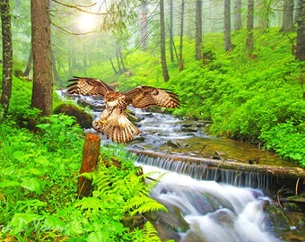 Red Tailed Hawk Flying, Hawk Art Print, Bird Photography, Bird Wall Art, Summer Woods, Forest Stream, Fine Art Photography, Gift Ideas