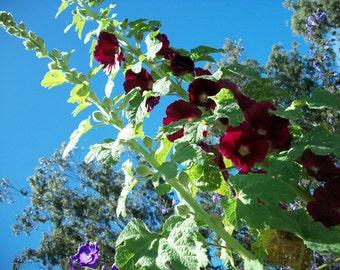 Hollyhock Seeds,Burgundy Hollyhock Seeds  Wildflower Self Sow Cottage Garden Fairy Garden Flower Fairy Garden Seeds, Organic Flower Seeds