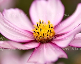 Cosmos, flower, close up, summer meadow