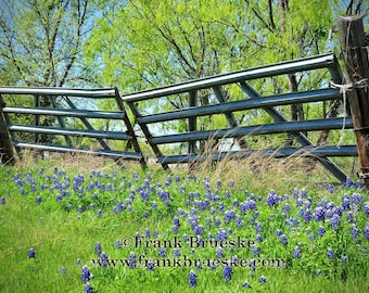 Texas Blue Bonnets at the Gate, Spring in Texas, Blue Bonnets in Texas, Blue Bonnet Country, Fine Art Photography, Frank Brueske