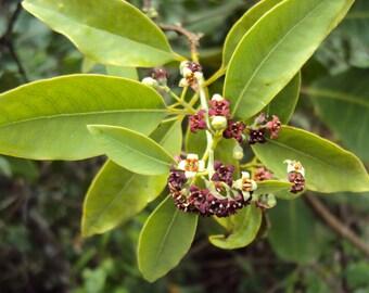 50 Santalum album Seeds , Sandalwood,Fragrant sandalwood, White Sandalwood seeds,