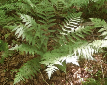 Intermediate Wood Fern .... 200 Spores