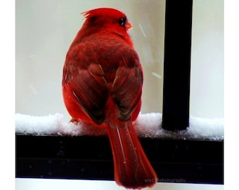 Cardinal Picture Christmas Snow Winter Holiday Decor Bright Red Cardinal Photography Home Decor - 5x5 inch Print - Cardinal in the Snow