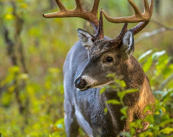 Buck in Cades Cove, Fine Art Print, Jimmy Pappas Photography
