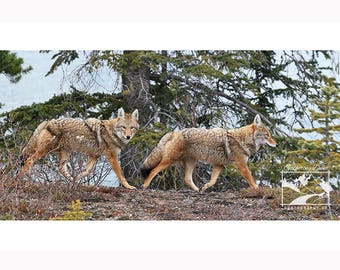 Wildlife Photograph of Coyotes, Canadian Wildlife Print, Alberta Print, Wildlife Photography, Coyote Photo on Canvas, Nature Photography