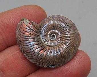Ammonite Quenstedtoceras lamberti Pyrite Russia Fossils Callovian opaline Natural Fossilien Opaline Nacre