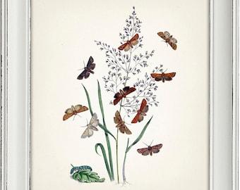 Moth Series no.2  - 8x10 - Fine art print of a vintage natural history antique illustration