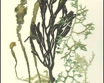 seaweed art, Original collage seaweed pressing, Natural pressed seaweed, MADE TO ORDER, Botanical seaweed artwork, beach cottage decor, 8x10