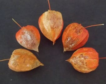 Five Dried Partially Skeletized Chinese Lantern Seed Pods from Physalis Alkekengi Plants, for Crafts and Arrangements