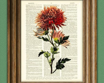 Chrysanthemum mums Flower botanical illustration beautifully upcycled dictionary page book art print