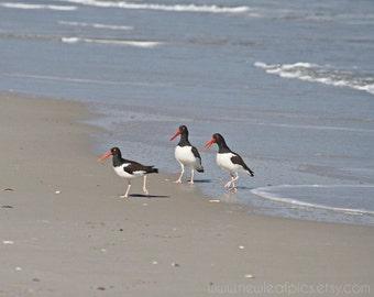 Bird Photography, Coastal Art Print, Beach Photography, Oystercatcher Photo, Birds on the Beach, NJ Beach Decor, Ocean Photography, Seaside