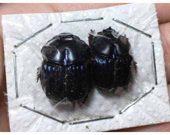 Phanaeus Batesi Scarab Dung Beetle Pair