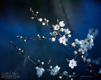 Flower Photography, Magical, Dark Blue, Cherry Blossom, Landscape, Wall Art, Nature, Home Decor, Office Art, Fine Art, White, Floral, Large