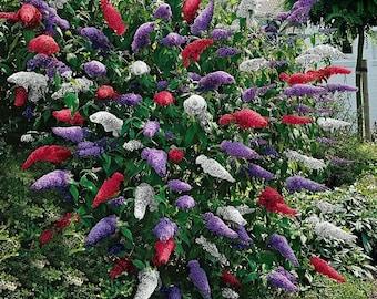 Butterfly Bush Mix Flower Seeds (Buddleja Davidii Mix) 30+Seeds