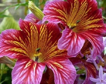 20+ Red Stained Glass Salpiglossis / Annual Flower Seeds