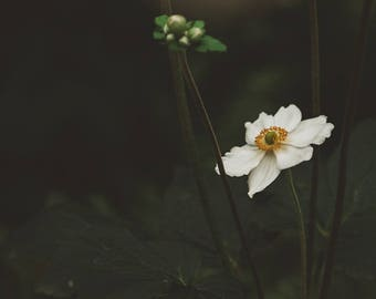 Flower Photography, Anemone Art, Wall Art Print, Nature Photograph - Black, White, Yellow, Floral Home Decor, Botanical Prints, Landscape