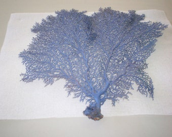 Sea Fan dyed Periwinkle color  (Ea).