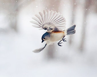 Birds and photography: The Art of Staying Aloft No.12 Tufted Titmouse (Baeolophus bicolor)