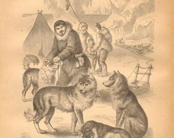 1876 Sled Dogs, Huskies Original Antique Engraving to Frame