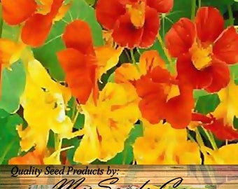 NASTURTIUM Flower Seeds - Edible Tropaeolum nanun - Spurred, flat-faced trumpet - Used In CAKE And BAKERY , Choose from 25 or 1,000