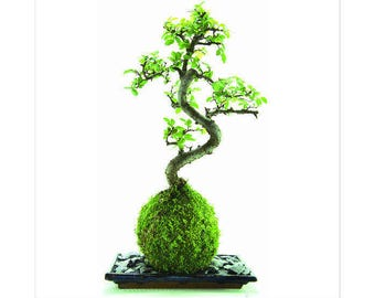 Kokedama - Chinese Elm  Bonsai in a live moss ball and with slate and  blue tray - 30cm high