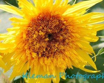 Sunflower 11x14 Matted Print
