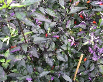 HOT PEPPER SEEDS 'Bellingrath Gardens' Capsicum annuum - Most notable for its wildly colored foliage.