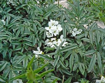 10 Seeds Dentaria bipinnata, Alpine Plant Seeds