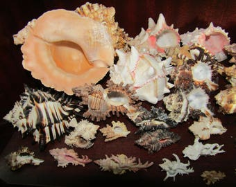 Collection of Murex and Bursa Shells + others from an Old Collection