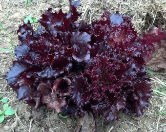 2000 Seeds Lettuce Ruby Red Leaf Lettuce Seeds