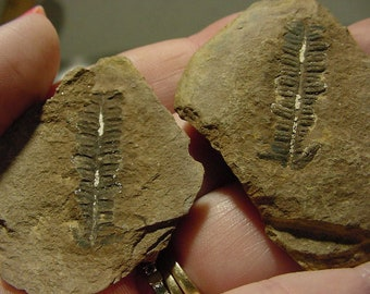 Pecopteris Fossil Fern Leaf 2 piece Mazon Creek, IL formation, positive and negative fossil 18t46