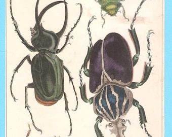 Antique Beetles illustration
