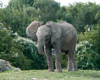 African elephant prints, elephant photo gifts, Elephant photography, Elephant photos, Animal wall art, wildlife photography, Elephant gifts