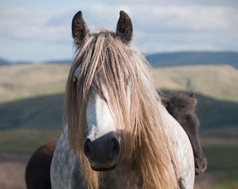 Equine art, black and white horse photo, fine art photo, fell pony, animal photo, various sizes