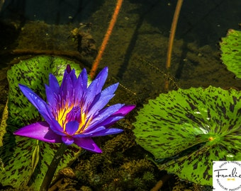 """Magnificent Exotic - """"Singapore Flower""""  Fine Art Photograph  (9.5"""" x 13.25"""" Print on 14"""" x 18"""" Board)"""