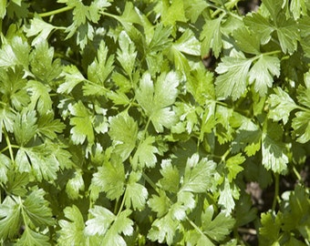 Slow Bolt Cilantro Heirloom Herb Seeds Coriander Non-GMO Naturally Grown Open Pollinated Gardening
