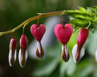 "Red flower ACEO photograph, mini print, green, bleeding heart -- ""Heartstrings"" (2.5 x 3.5 inches)"